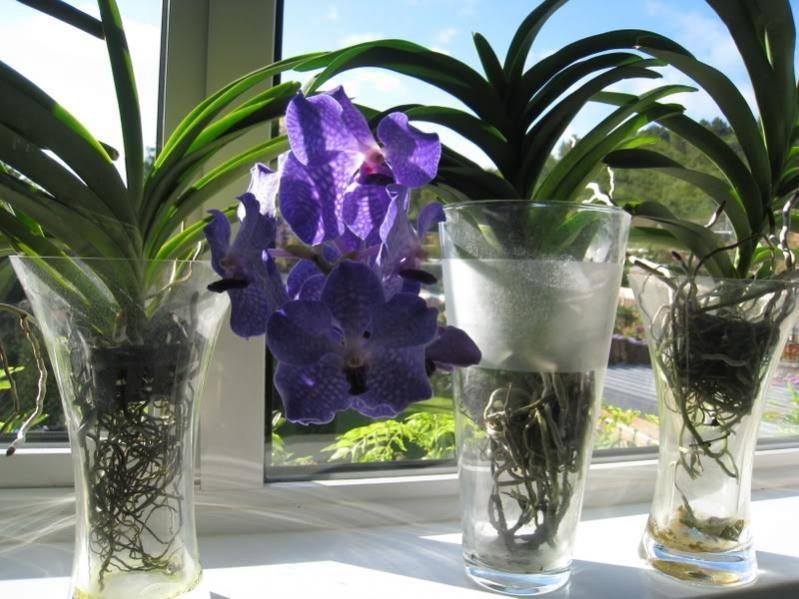 Можно ли держать орхидеи в воде длительное время?
