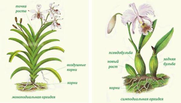 Можно ли размножить орхидею листочком