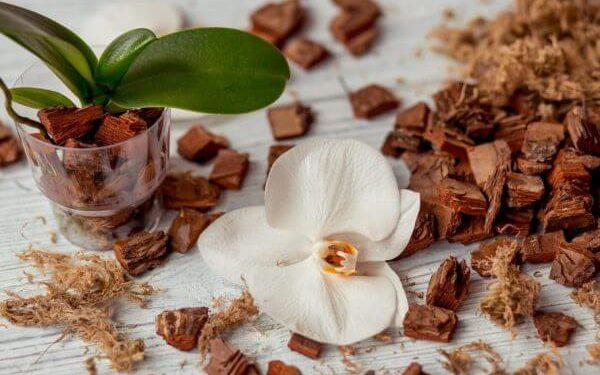 отсадить детку орхидеи