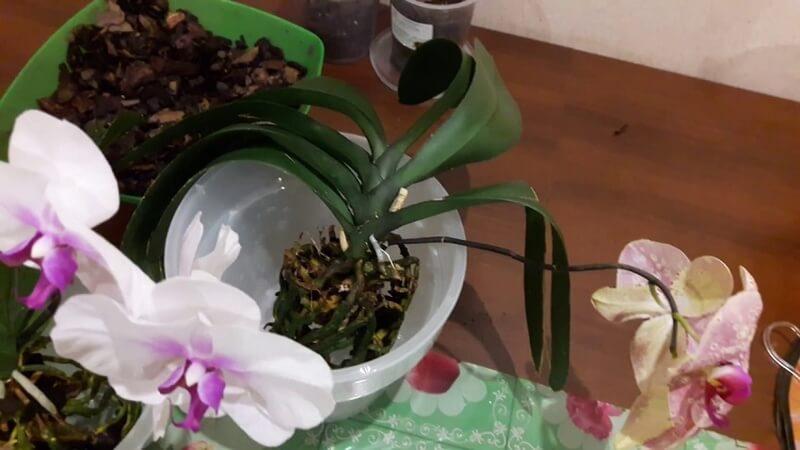пересадка орхидеи после цветения