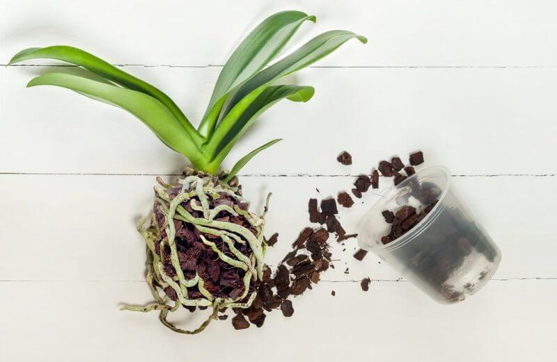 Как пересадить орхидею после покупки