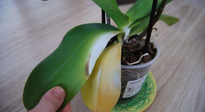 Почему желтеют листья у орхидеи?