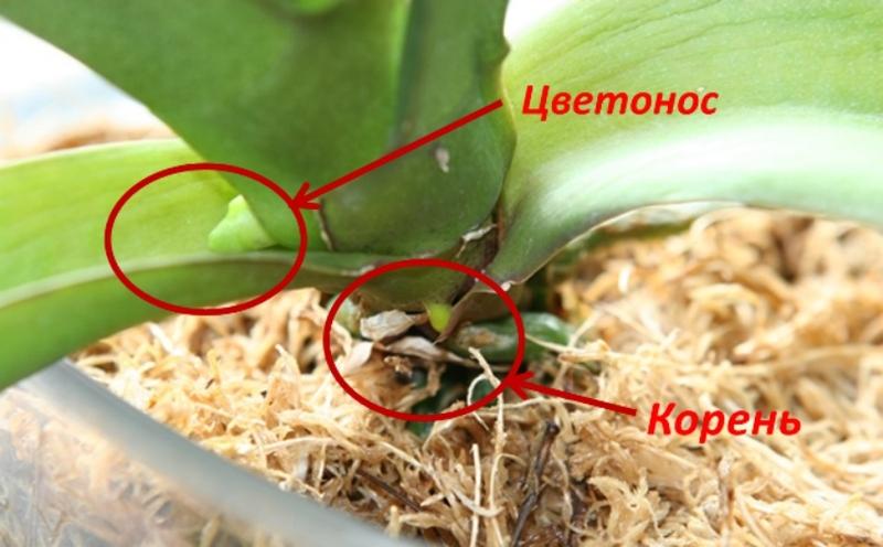 Размножение с помощью цветоноса
