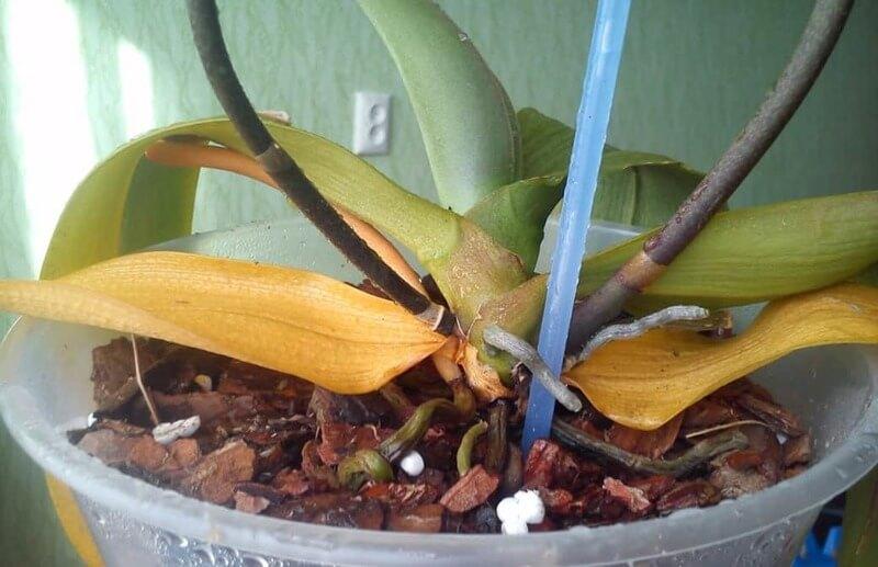 Что делать, если залили орхидею