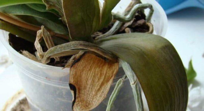 Вянет орхидея - что делать
