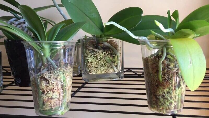 Как омолодить орхидею
