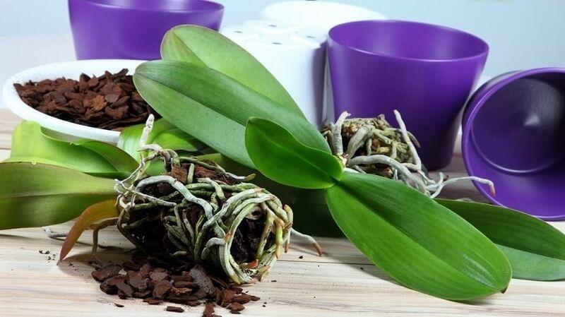 Как реанимировать орхидею без листьев, но с корнями