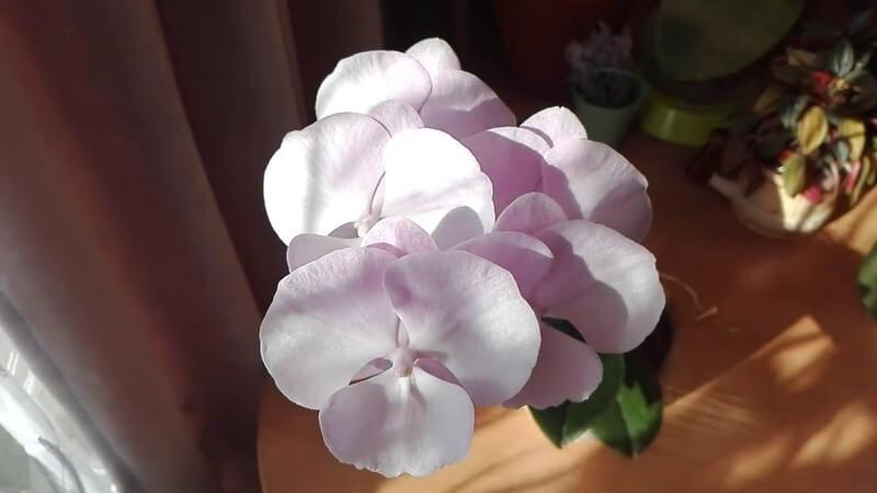 Орхидея Биг Лип