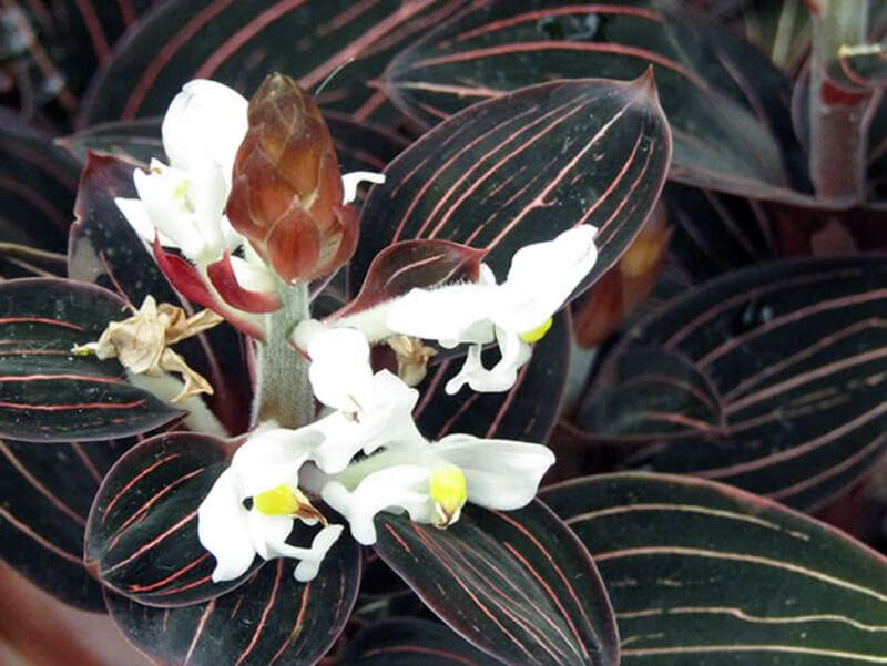 Почему краснеют листья у орхидеи и как этого избежать