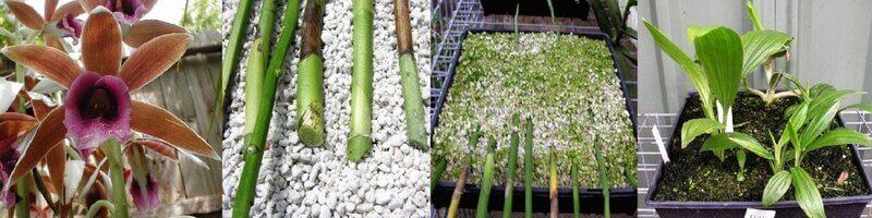 Размножение орхидеи черенками
