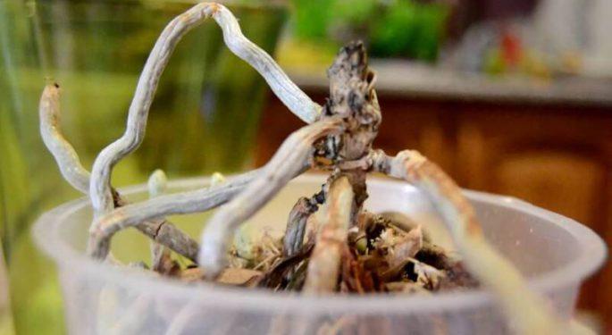У орхидеи опали все листья: что делать, причины и способы реанимации
