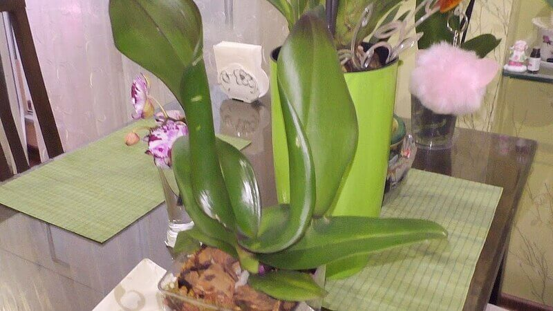 У орхидеи скручиваются листья