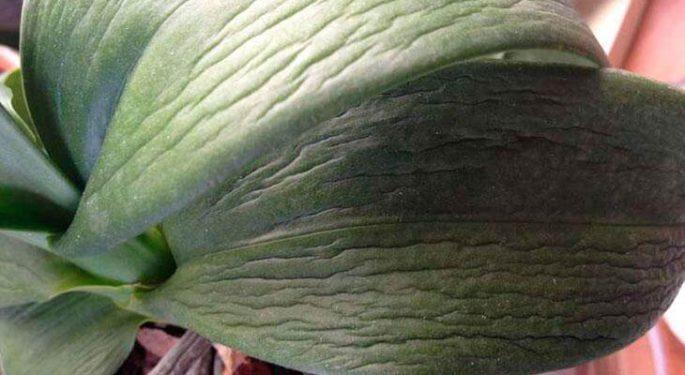 Почему вянут листья орхидеи?