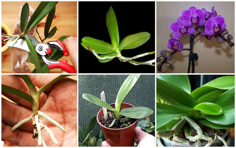 Что делать, если орхидея дала отросток на стебле