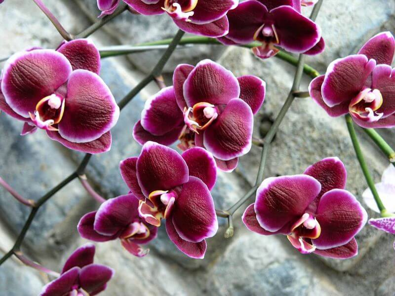Цвета орхидеи