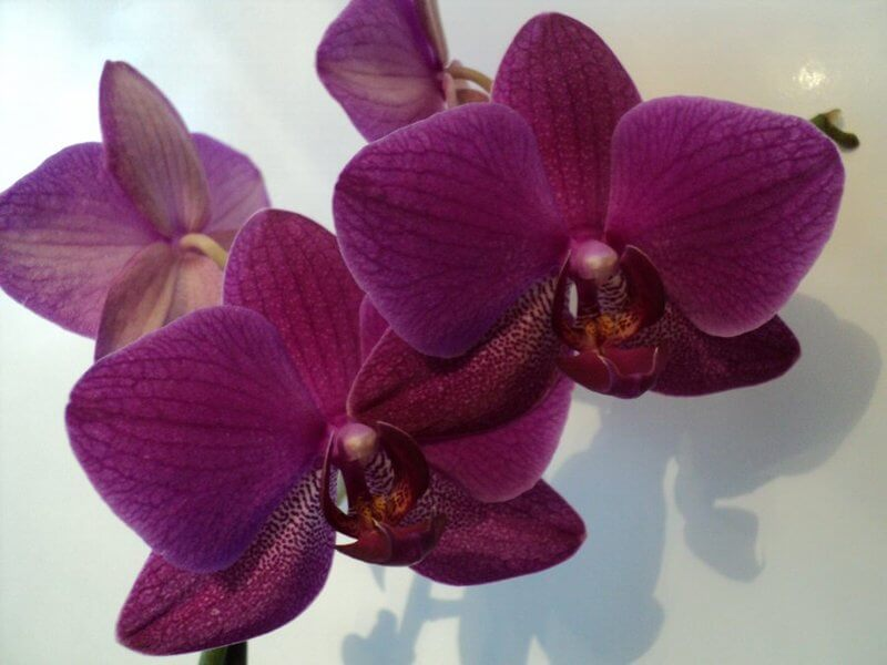 "Орхидея ""Бабочка"""