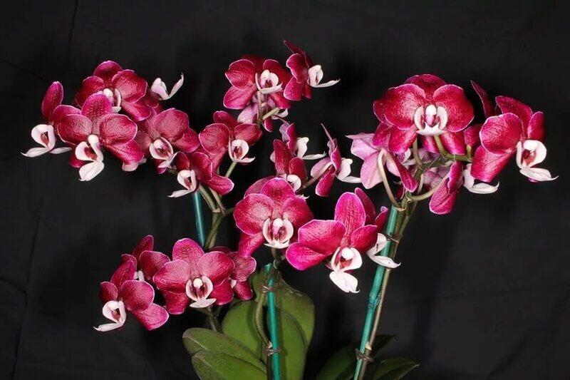 """Орхидея """"Каода"""""""