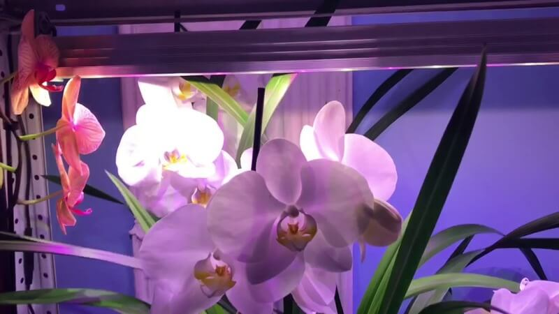 Орхидея «Легато»