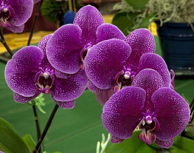 """Орхидея """"Леопард"""""""