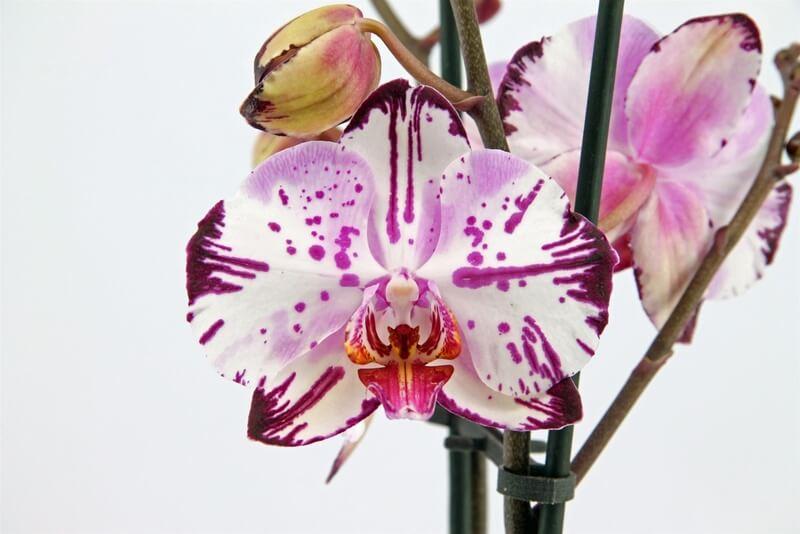 Орхидея Мэджик Арт