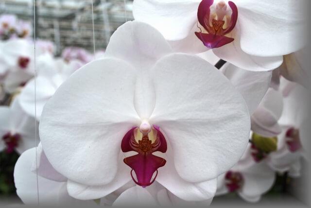 """Орхидея """"Red Lips"""" (Красные губы)"""