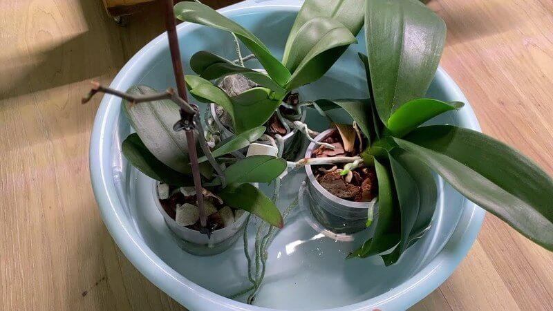 """Орхидея """"Сакура"""""""