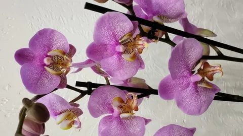 "Орхидея ""Манхеттен"""