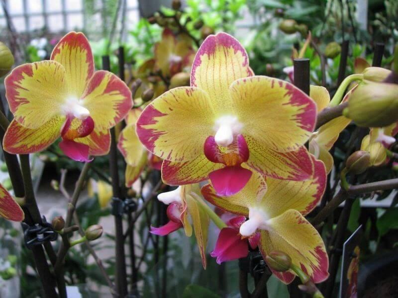 Орхидея Попугай