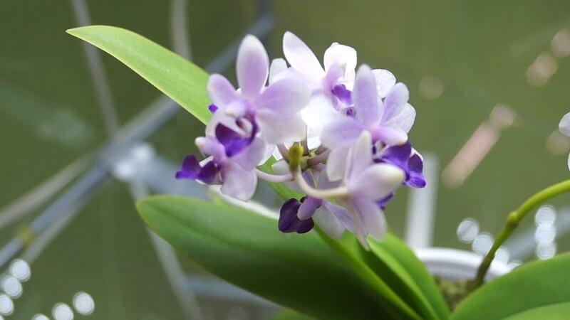 Орхидея Сапфир
