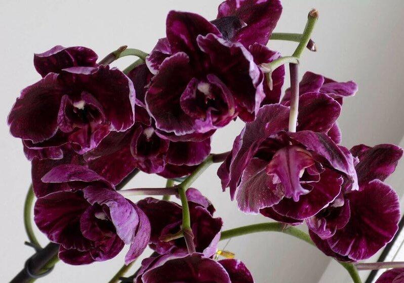 "Орхидея ""Шоколад"""