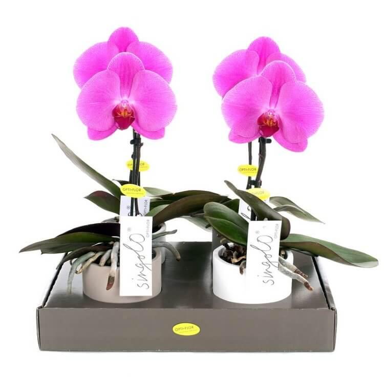 Орхидея Синголо