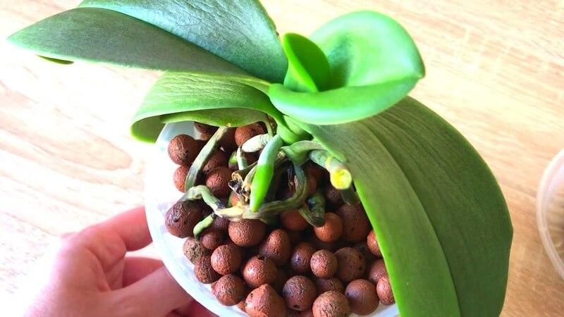 Грунт для орхидей керамзит: плюсы и минусы