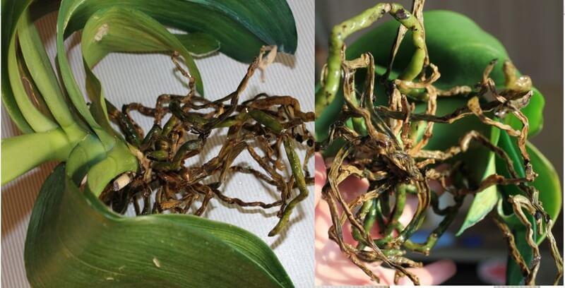Орхидеи: болезни и вредители
