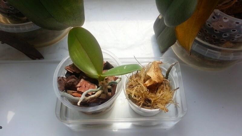 Орхидея Анаконда