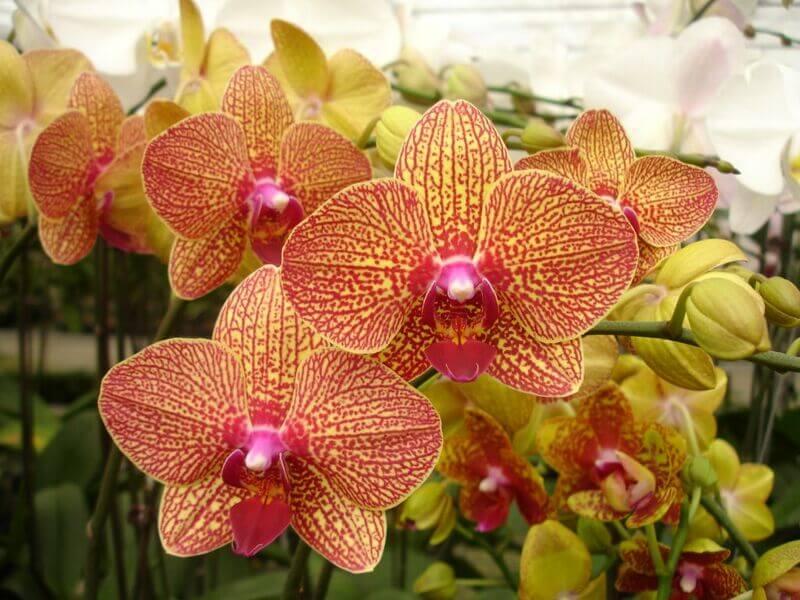 """Орхидея """"Чармер"""""""