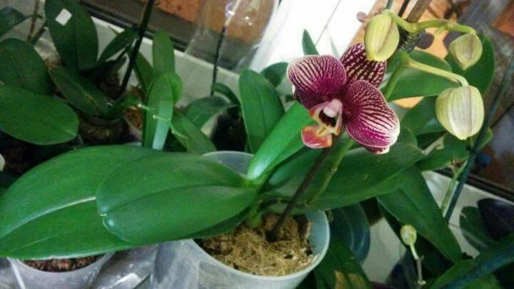 """Орхидея """"Фантом"""""""