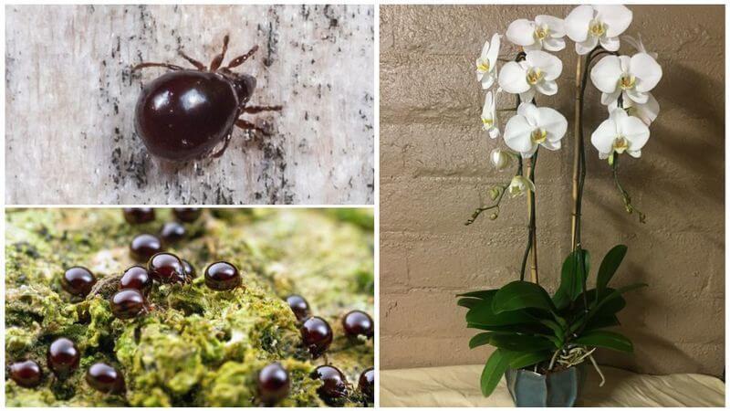 Панцирный клещ на орхидее