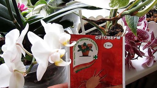 Паутинный клещ на орхидее