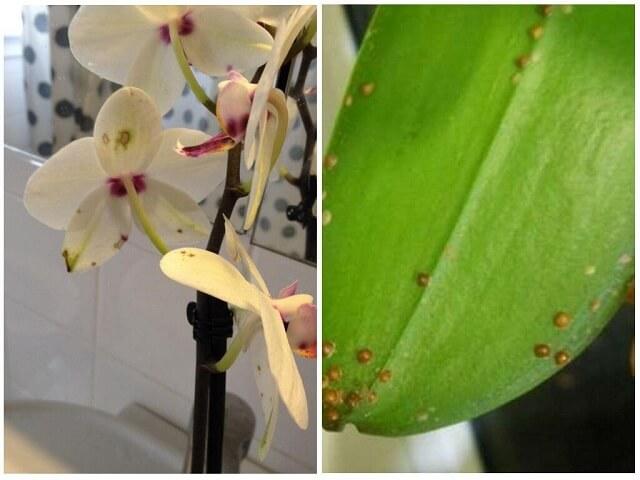 Щитовка на орхидее