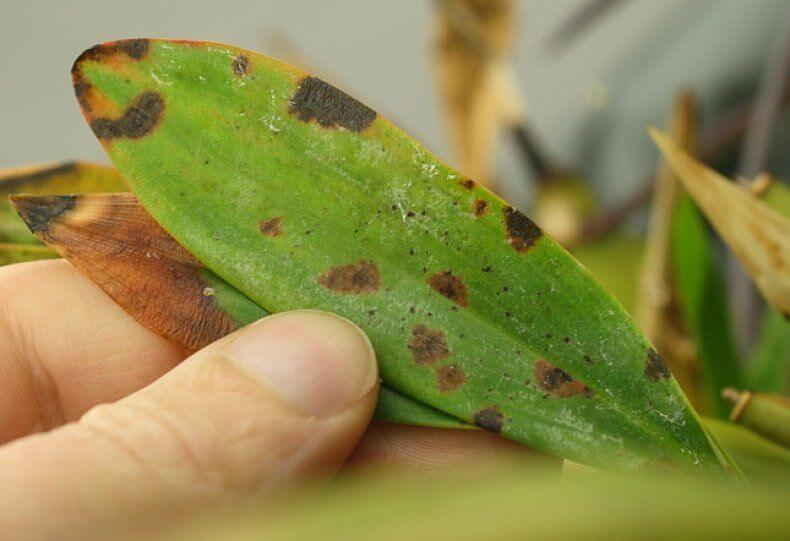 Вредители на орхидее