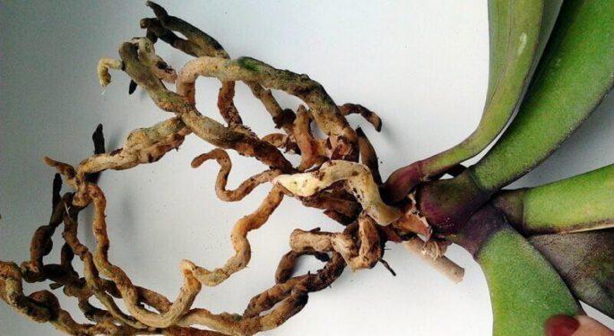 Орхидея гниет