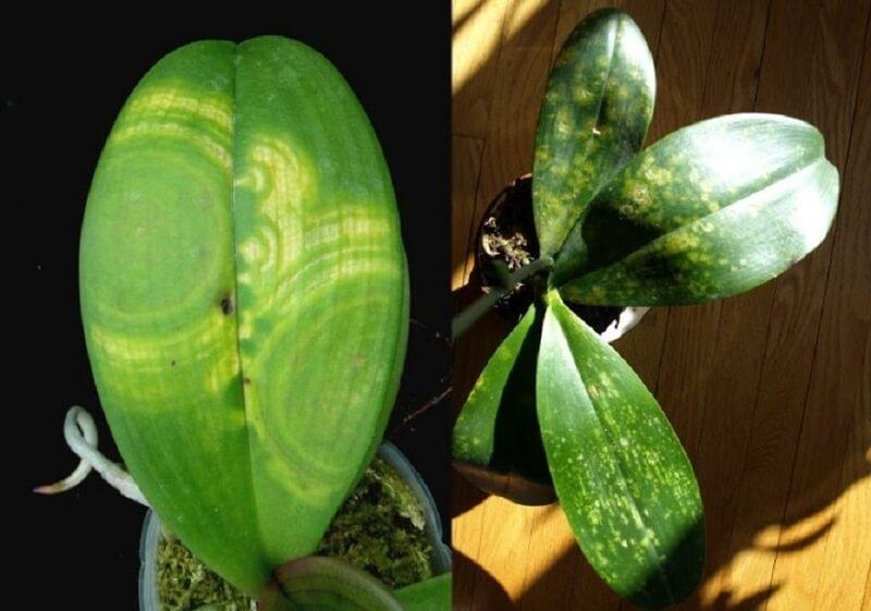 Пятна на орхидее