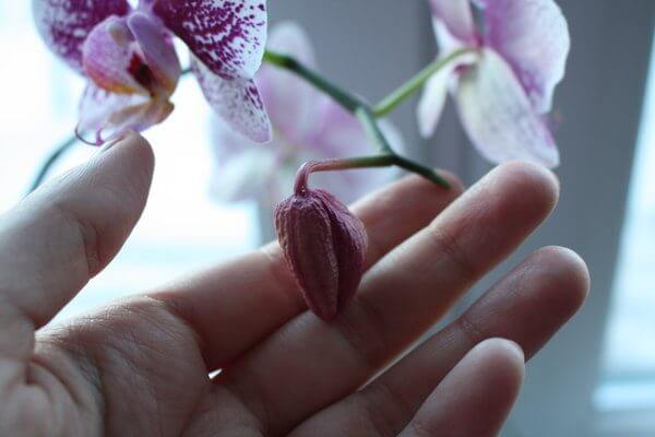 Вянут цветы у орхидеи – причина, устранение