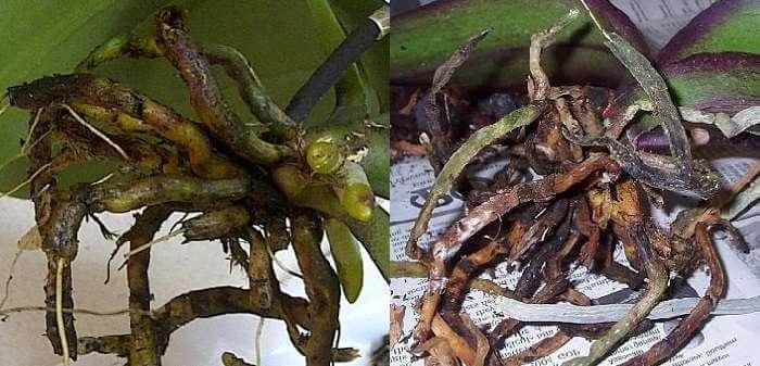 Что делать, если у орхидеи сгнили все корни