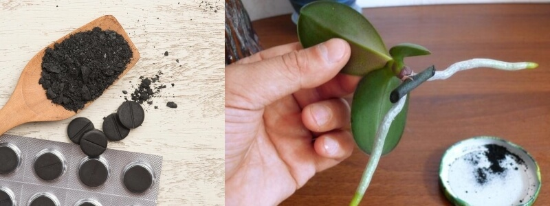 У орхидеи сгнили все корни