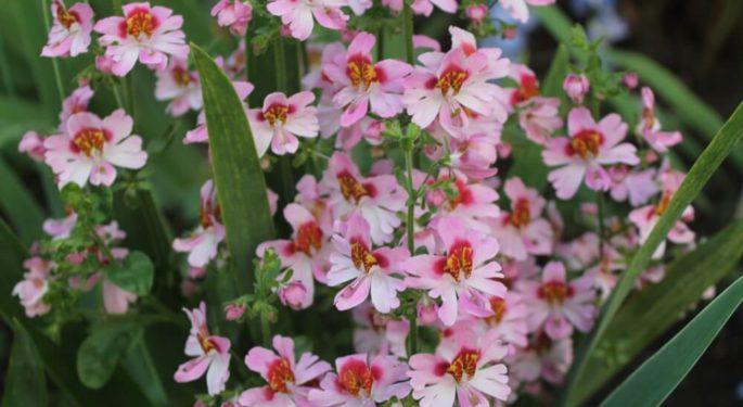 Садовая орхидея