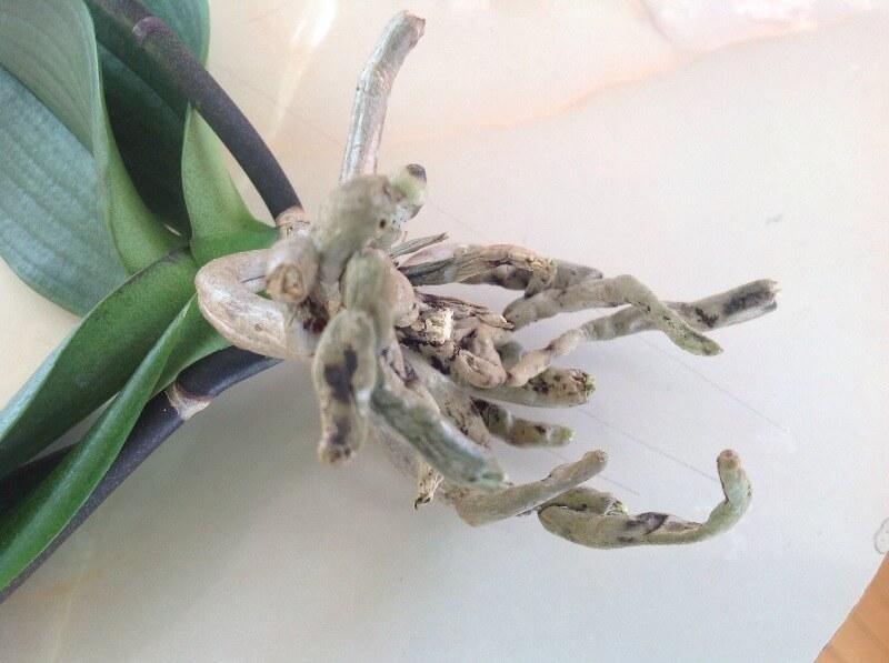 У орхидеи белые корни