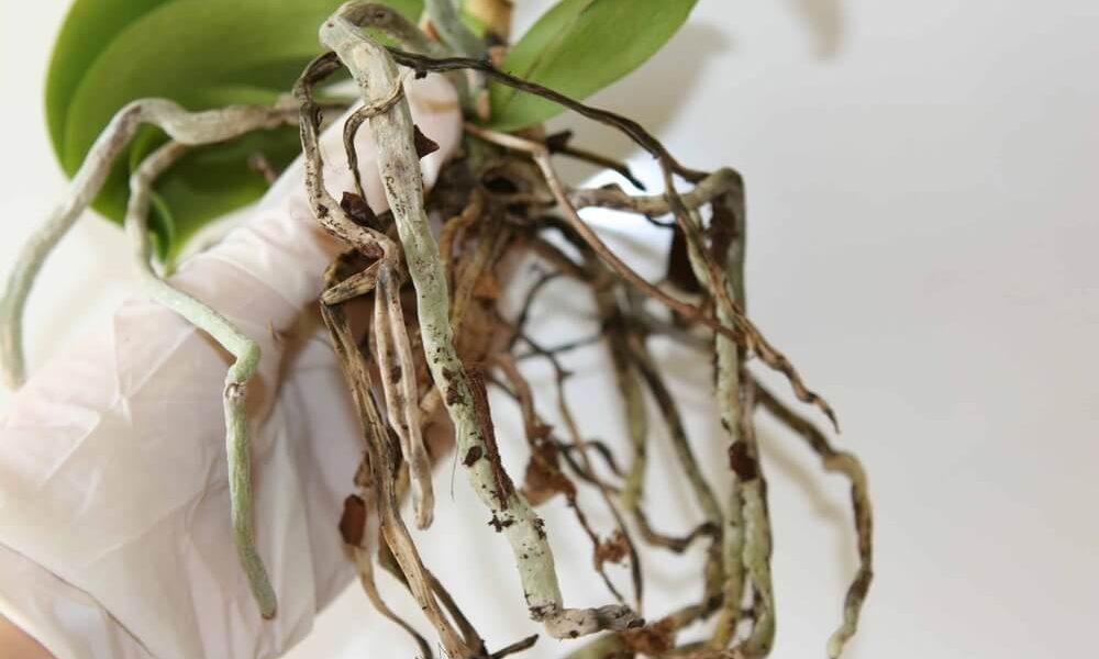 У орхидеи сохнут корни
