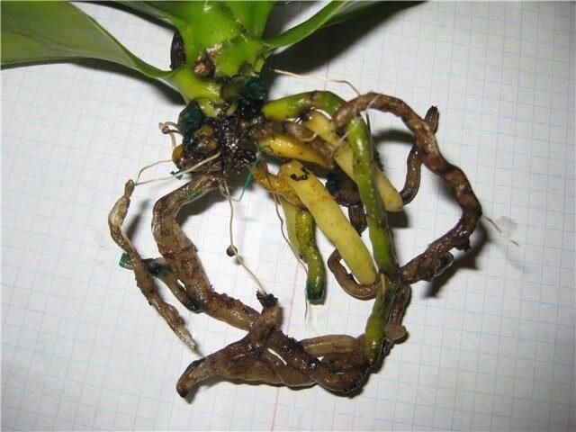 Помощь орхидее при почернении корней