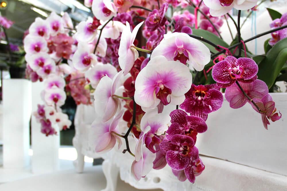 Сколько живет и цветет орхидея